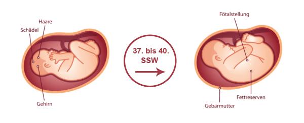 Überblick zur Entwicklung des Babys im 10. SSM