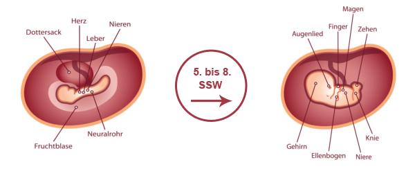Überblick zur Entwicklung des Babys im 2. SSM