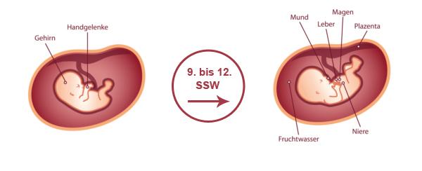 Überblick zur Entwicklung des Babys im 3. SSM