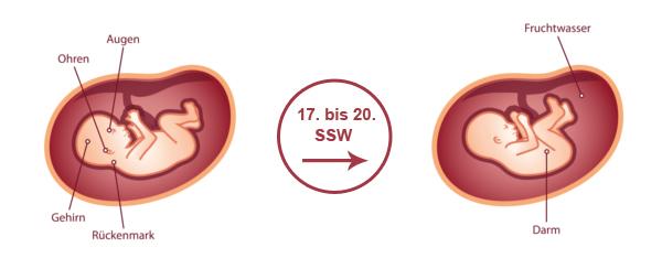 Überblick zur Entwicklung des Babys im 5. SSM