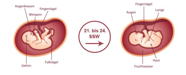 Überblick zur Entwicklung des Babys im 6. SSM