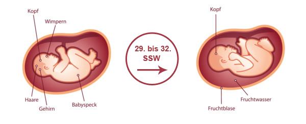 Überblick zur Entwicklung des Babys im 8. SSM